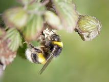Abejorro que busca el polen Fotografía de archivo