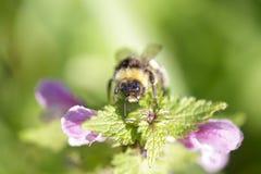 Abejorro que busca el polen en flores de la ortiga Fotos de archivo libres de regalías