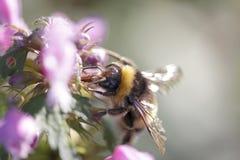 Abejorro que chupa el polen de las flores salvajes Imagen de archivo