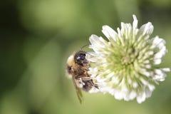 Abejorro que chupa el polen de una flor blanca Imagen de archivo libre de regalías
