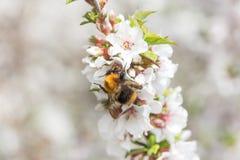 Abejorro que cosecha el polen de Cherry Blossom Fotos de archivo libres de regalías