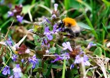 Abejorro que cosecha el polen del flor azul en día de primavera Foto de archivo libre de regalías