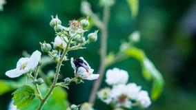Abejorro que duerme en flor de la zarzamora Foto de archivo