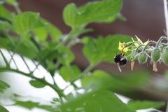 Abejorro que forrajea en una flor del tomate Fotografía de archivo libre de regalías