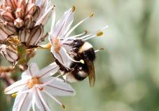 Abejorro que lame el polen en un lado de la flor Imagen de archivo libre de regalías