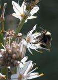 Abejorro que lame el polen en una vertical de la flor Foto de archivo
