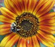Abejorro que poliniza el girasol colorido en un jardín Imágenes de archivo libres de regalías