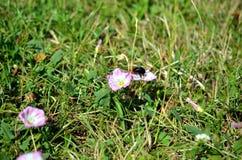 Abejorro que poliniza la mala hierba rosada en un prado Fotografía de archivo