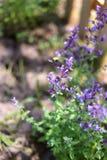 Abejorro que poliniza las flores púrpuras del Catmint Foto de archivo libre de regalías