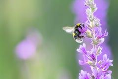 Abejorro que recoge el néctar de las flores púrpuras en prado del verano fotografía de archivo libre de regalías