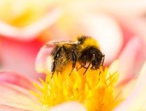 Abejorro que recoge el néctar en un flor de la dalia Imágenes de archivo libres de regalías