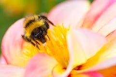 Abejorro que recoge el néctar en un flor de la dalia Foto de archivo