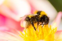 Abejorro que recoge el néctar en un flor de la dalia Fotografía de archivo libre de regalías