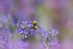 Abejorro que recoge el néctar en un flor de la lavanda Fotografía de archivo libre de regalías