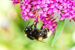 Abejorro que recoge el néctar en un flor del budleja Foto de archivo libre de regalías