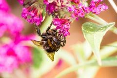 Abejorro que recoge el néctar en un flor del budleja Imagen de archivo libre de regalías