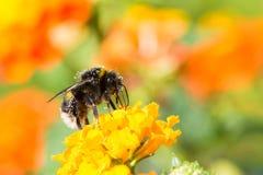 Abejorro que recoge el néctar en una flor del camara del lantana Fotos de archivo libres de regalías