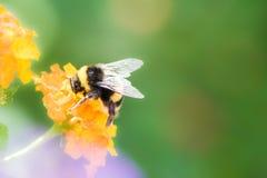 Abejorro que recoge el néctar en una flor del camara del lantana Imagen de archivo