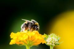 Abejorro que recoge el néctar en una flor del camara del lantana Imágenes de archivo libres de regalías