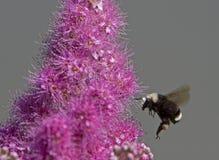 Abejorro que recoge el polen Foto de archivo libre de regalías