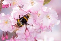 Abejorro que recoge el polen Fotos de archivo libres de regalías