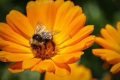 Abejorro que recoge el polen Imagenes de archivo