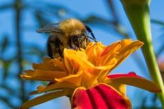 Abejorro que recoge el polen Imágenes de archivo libres de regalías