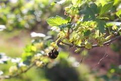 Abejorro que recoge el polen Imagen de archivo libre de regalías