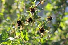 Abejorro que recoge el polen Fotografía de archivo libre de regalías