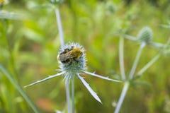 Abejorro que recoge el polen de la flor de la mala hierba espinosa Imagen de archivo