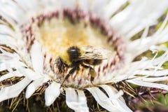 Abejorro que recoge el polen de una flor Imagenes de archivo