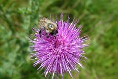 Abejorro que recoge el polen en un primer púrpura de la flor Fotos de archivo libres de regalías