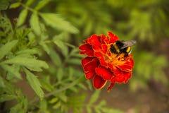 Abejorro que recoge el polen en una flor en el parque Imagenes de archivo