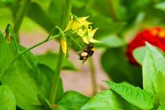 Abejorro que recolecta el néctar de la flor amarilla Fotografía de archivo libre de regalías