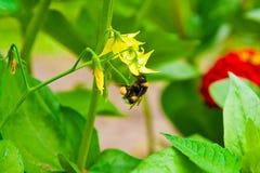 Abejorro que recolecta el néctar de la flor amarilla Fotos de archivo libres de regalías