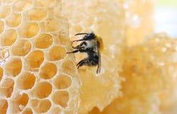 Abejorro que se sienta en la estructura de panal ligera de la cera y que come la miel Imágenes de archivo libres de regalías