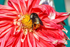 Abejorro que se sienta en la flor Fotos de archivo libres de regalías