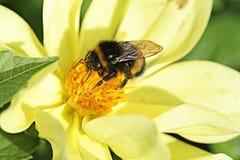 Abejorro que se sienta en la flor amarilla en día de verano Imagen de archivo libre de regalías