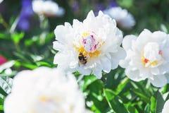 Abejorro que se sienta en la flor de la peonía blanca Fotos de archivo