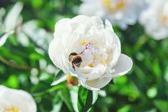 Abejorro que se sienta en la flor de la peonía blanca Imagen de archivo