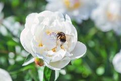 Abejorro que se sienta en la flor de la peonía blanca Foto de archivo