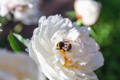 Abejorro que se sienta en la flor de la peonía blanca Imagenes de archivo