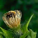 Abejorro que se sienta en la flor salvaje Imágenes de archivo libres de regalías