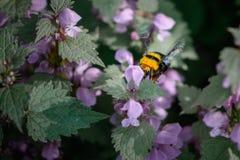 Abejorro que se sienta en las flores Primer con una abeja dentro del summ Foto de archivo