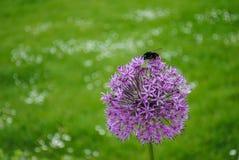 Abejorro que se sienta en una flor Fotos de archivo libres de regalías