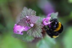 Abejorro que se sienta en una flor de la cáñamo-ortiga Imagen de archivo
