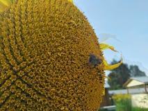 Abejorro que se sienta en una flor de un girasol Fotos de archivo libres de regalías