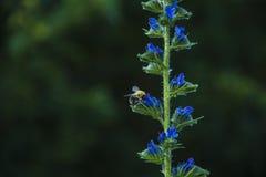 Abejorro que se sienta en una flor del azul del bosque Foto de archivo
