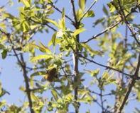 Abejorro que se sienta en una rama floreciente, fondo del cielo azul Imagen de archivo