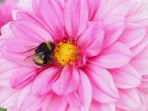 Abejorro que trae el néctar de una flor de la dalia Fotografía de archivo